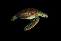A green sea turtle (Chelonia mydas) cruising by on a nigh... by Steve De Neef 